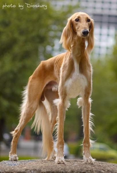 Собака салюки фото 14