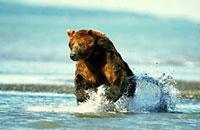 Медведь гризли - Ursus horribilis - это не что иное, как...