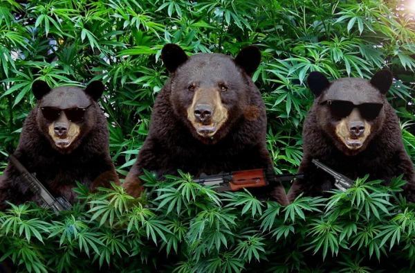 Прикол медведи и марихуана конопля фото и названия